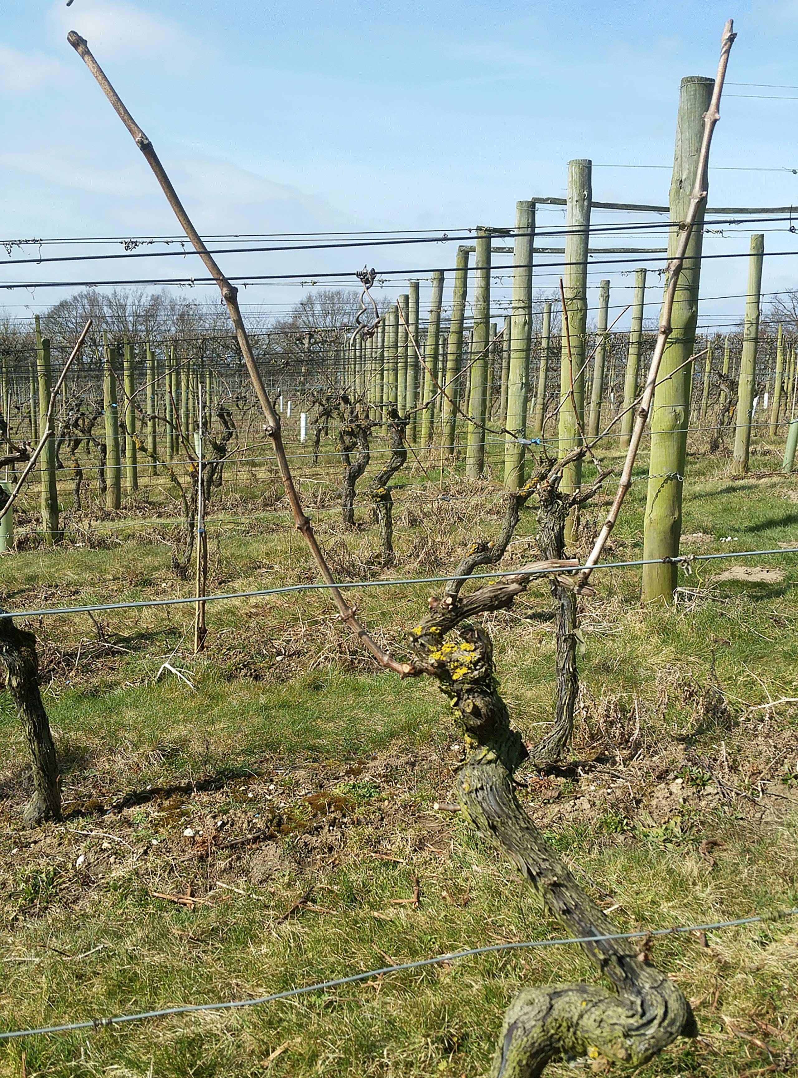 Vineyard – Frost alert
