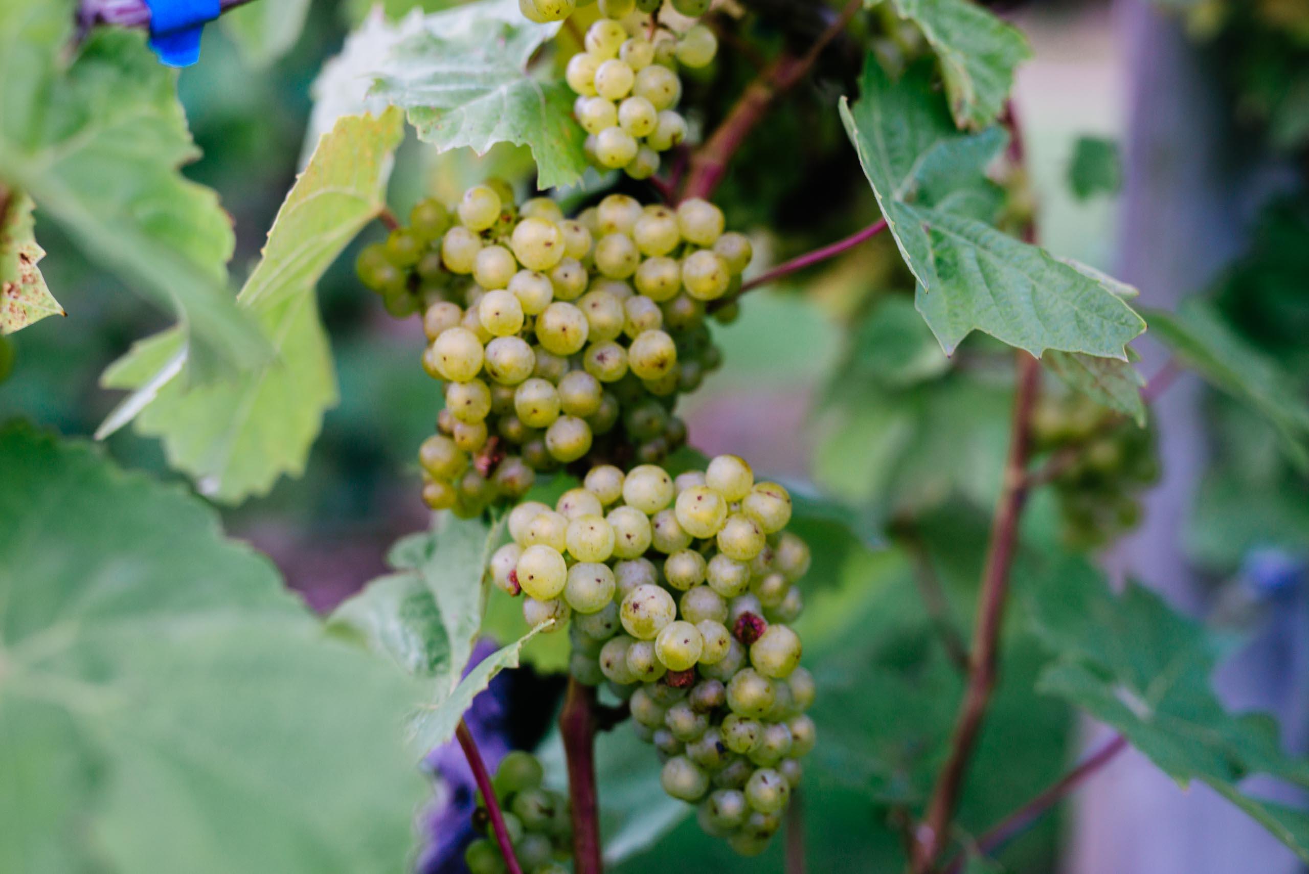 Vineyard Harvest